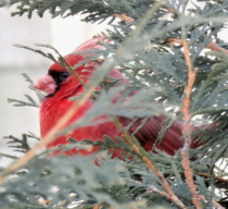 Cardinal chilling in a Bush