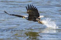 Eagle snatch n grab