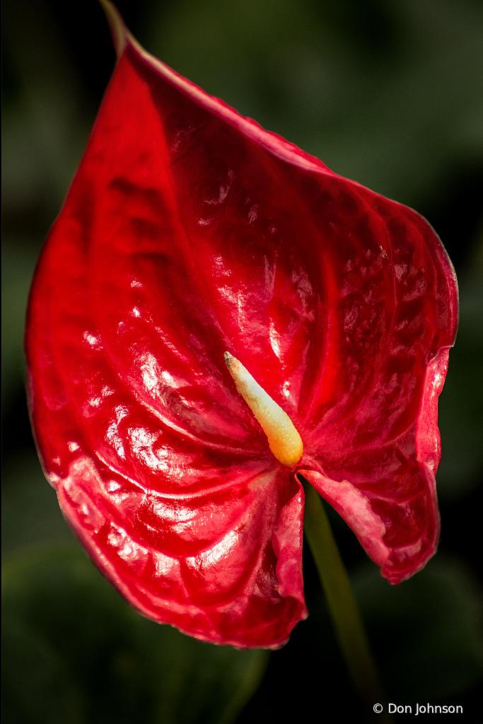 Anthurium Red 1-30-20 296 - ID: 15790110 © Don Johnson