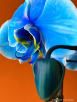 ~ ~ BLUE BUTTERFLY ORCHID ~ ~