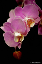 Orchid Cascade