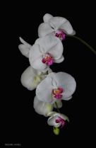 Elegant Orchid Cascade