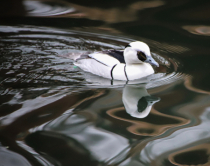 A Smew floating in chocolate!