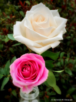 ~ ~ WHITE AND PINK ROSE ~ ~