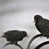 © Theresa Marie Jones PhotoID # 15790938: Starlings
