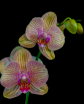 A Pair Of Orchids...