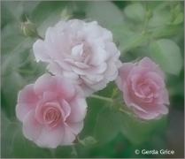 Soft Summer Rose