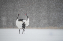 Red Crowned Cranes in the Snow