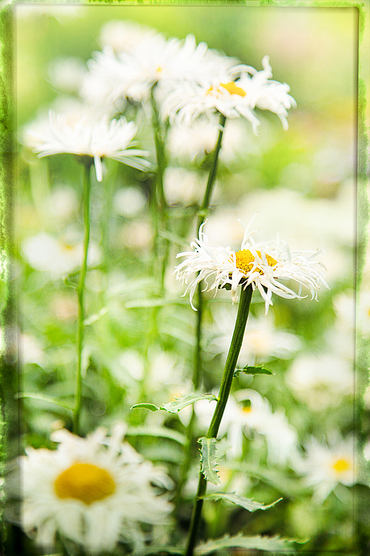 A Daisy is Never Alone