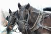 Amish Horses Rest...
