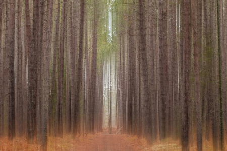 Path in the Pines