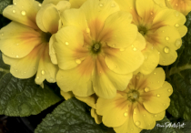 Golden Shower Primrose