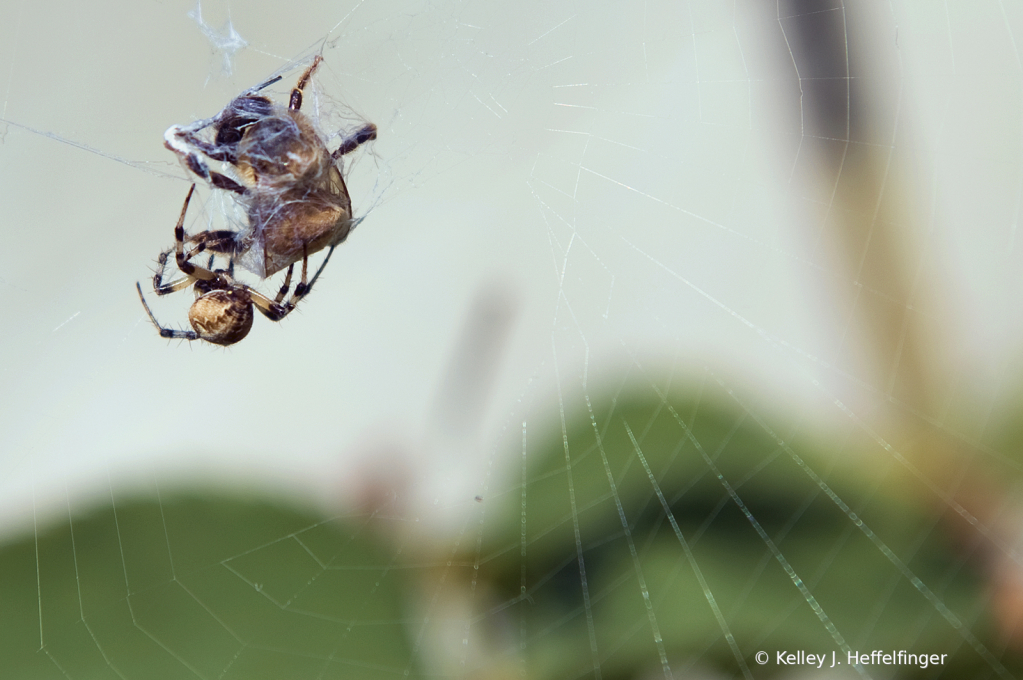 Spider catches a bee