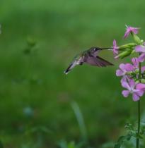 Hummingbird, Hummingbird sing me a song.
