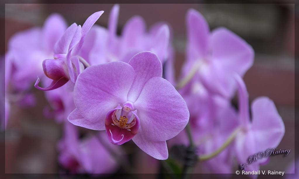 Purple Orchid unframed . .