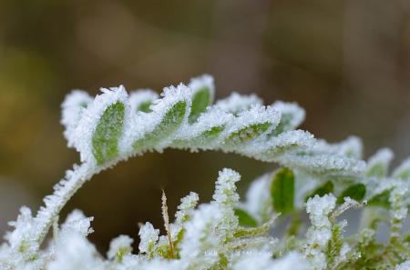 Frosty Fern