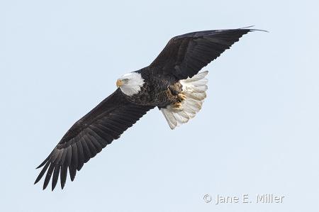 Chubby Eagle