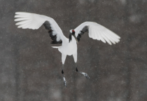 Red Crowned Crane Floating