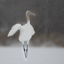 Juvenile Red Crowned Crane in the Snow