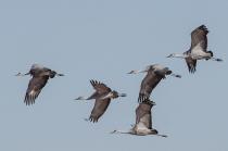 Sandhill Cranes In Formation