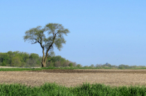 Ventura Tree