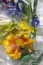 Blanket flower and nemesia in ice