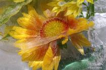 Blanket flower in ice II