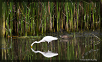 Snacking Great Egret & Duck in  pond . . .