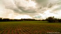 New growth on soybean field North Dakota