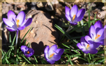 Spring Crocus in Bloom