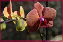 Large Blooming Orchid #1