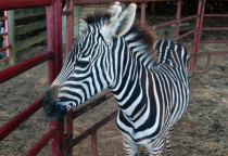Yipes, stripes!