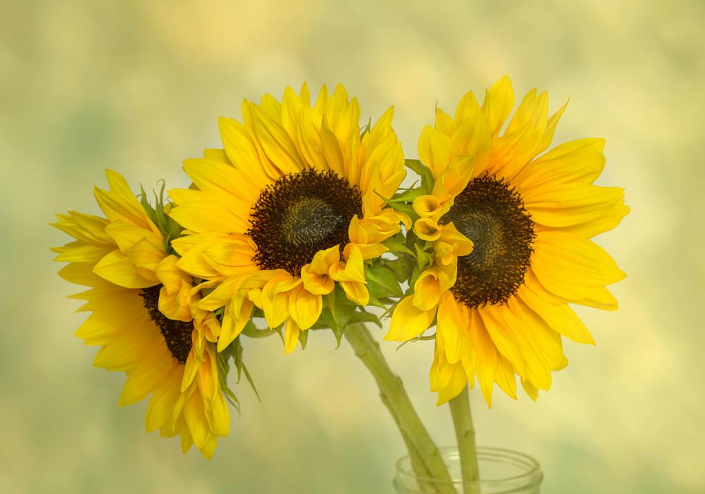 Three Sunny Smiles - ID: 15802107 © KC Glastetter
