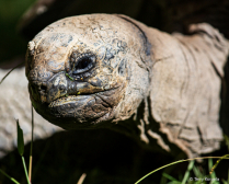 Portrait Aldabra Tortoise