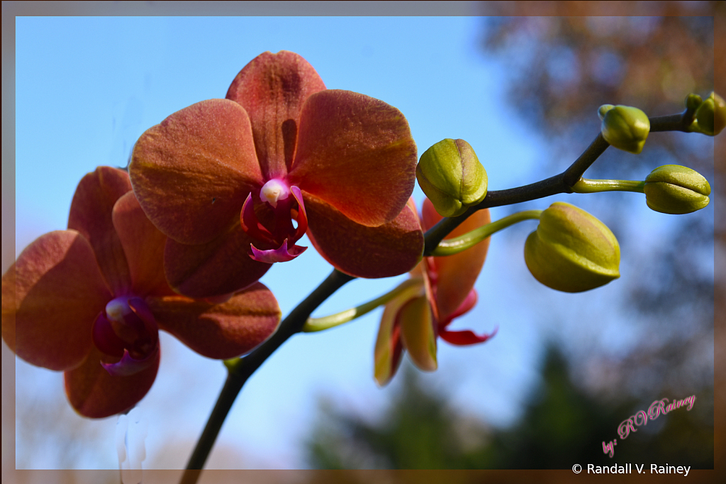 Orchid Blooming w/ Sky