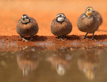 Quail Reflection