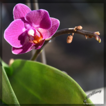Small Purple Orchid