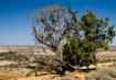 High Desert Pine