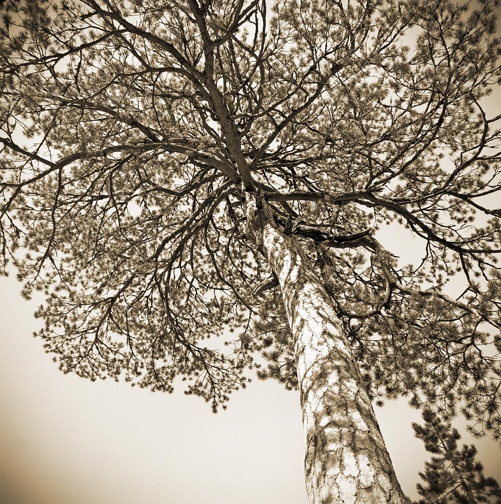 Mountain pine. - ID: 15805166 © Elias A. Tyligadas