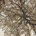 © Elias A. Tyligadas PhotoID# 15805166: Mountain pine.