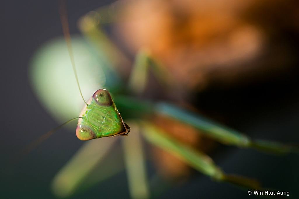 A frican Lined Mantis