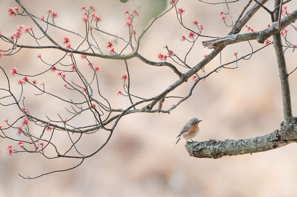 Bluebird and the Blossoms