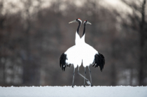 Red Crowned Cranes Sharing a Tutu