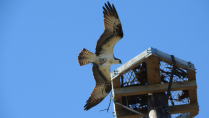 Trempealeau National Wildlife Refuge - Osprey