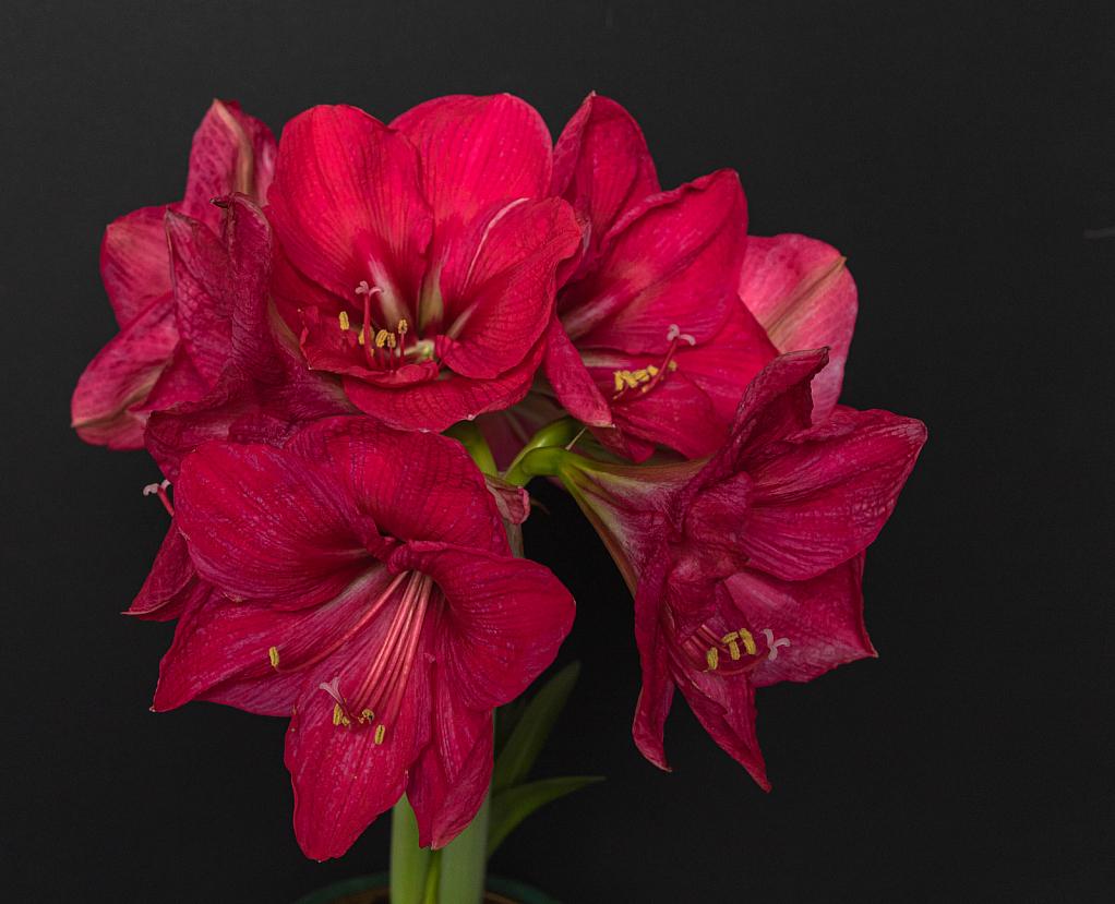 Amaryllis beauty - ID: 15808859 © Melvin Ness
