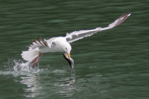 Kittiwake with Catch