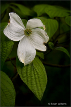 Flower of the Dogwood Tree