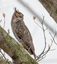 Great Horned Owl Looking for Bluejays