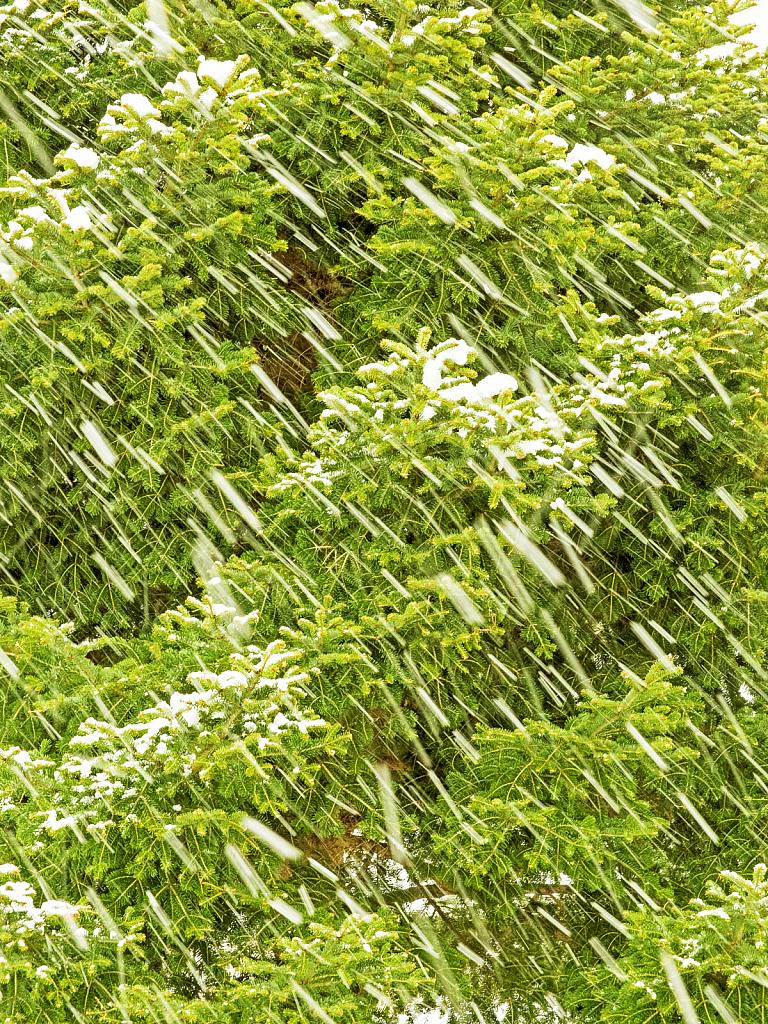 Snow storm...Love of the Fir tree! - ID: 15809439 © Elias A. Tyligadas