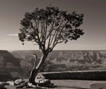 Tree on the Rim of the Canyon